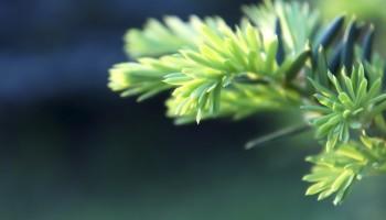 Taxus baccata | baubusiukas