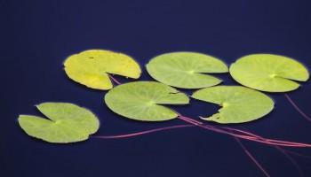 Water Lily | Denis Dugushkin