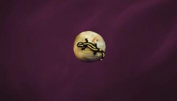 I am a Saucy Salamander... | Juan Pablo Lauriente