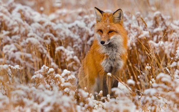 ginger-fox
