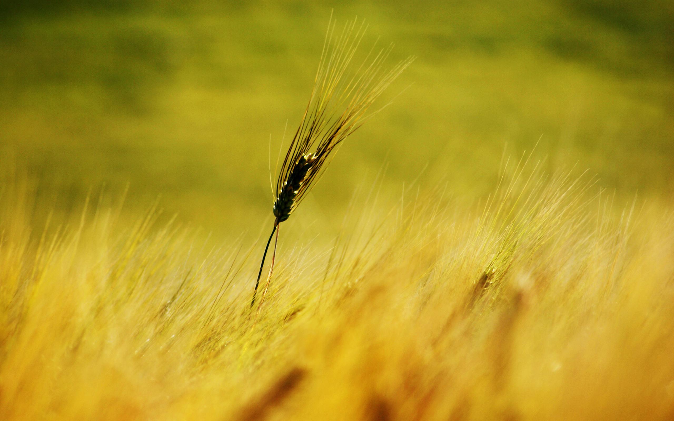paisaje de trigo